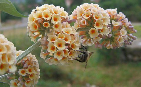 Fleur blanche de buddleia